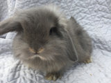 Kaninunger Mini lop