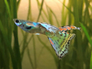 Guppy mix