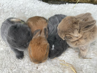 Mini lop kaninunger